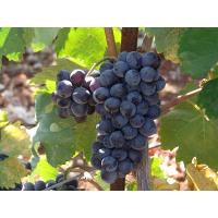 grappolokotsifaliminiatura - Kotsifali - Vino regionale di Creta