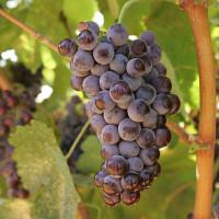 vino greco - Il vino greco - momenti di civiltà della tavola - parte prima - caratteri generali