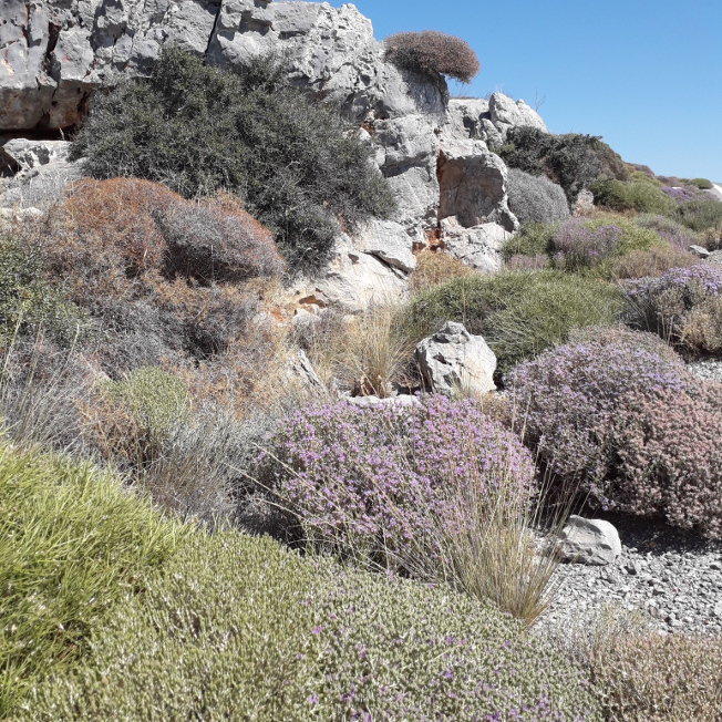 timo fiorito a creta - Miele di timo selvatico e tè di montagna